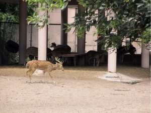 A spotted deer roaming the zoo